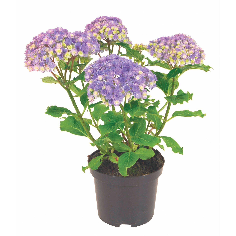 Hortensie Double Flower Sensation Kaufen Bei Obi