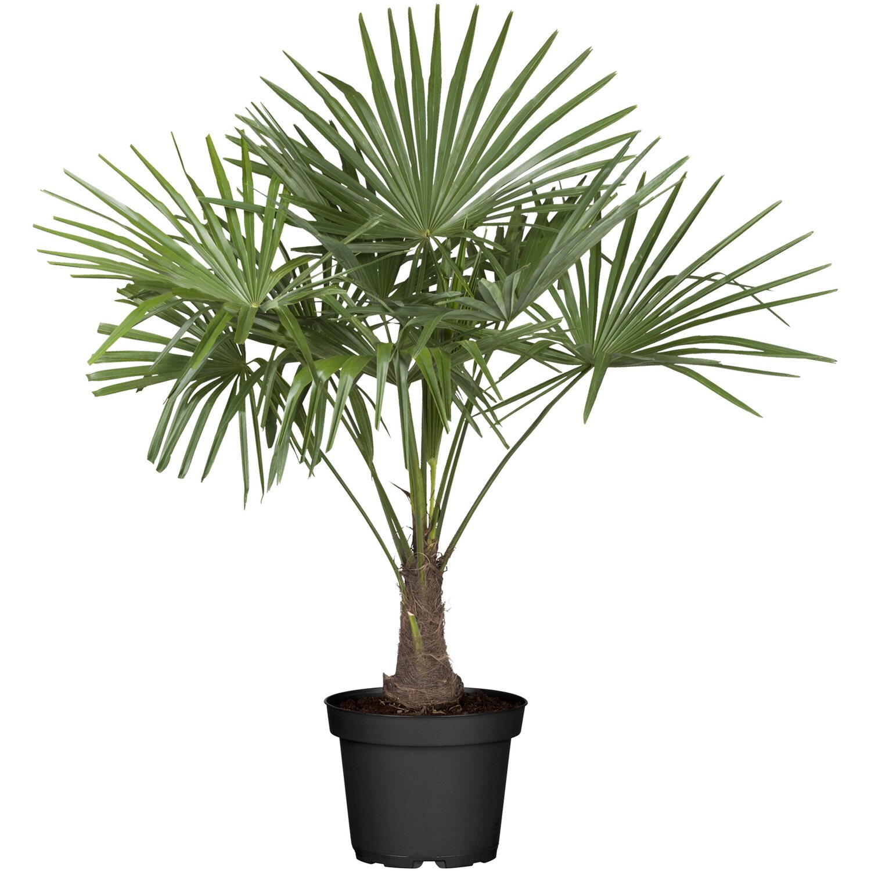 hanfpalme gr n topf ca 28 cm trachycarpus kaufen bei obi. Black Bedroom Furniture Sets. Home Design Ideas