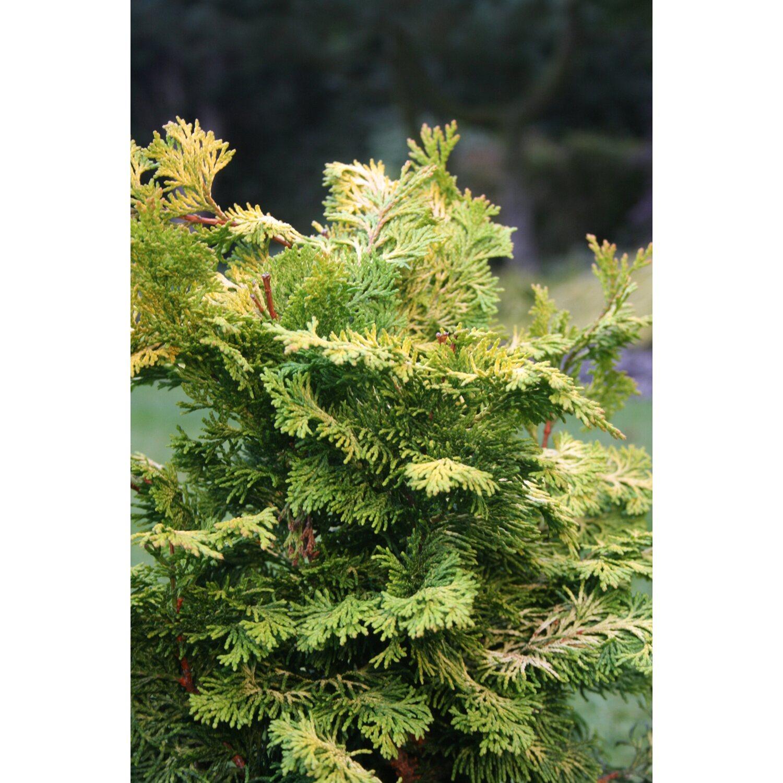 zwerg muschelzypresse gelbgr n 2 5 l kaufen bei obi