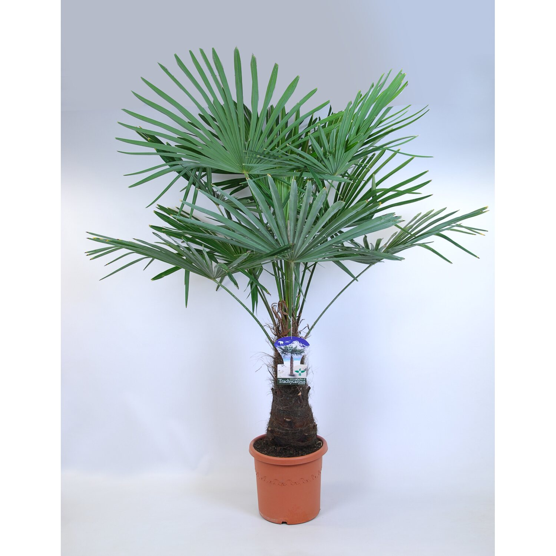 trachycarpus fortunei stamm topf 25 l kaufen bei obi. Black Bedroom Furniture Sets. Home Design Ideas