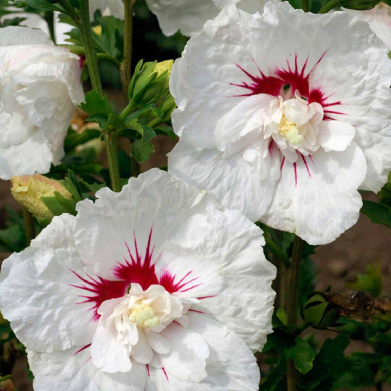 hibiskus bali weiss 15 l kaufen bei obi. Black Bedroom Furniture Sets. Home Design Ideas