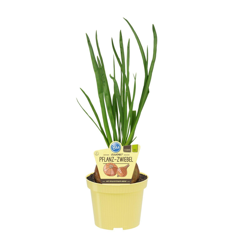 bio pflanz zwiebel topf ca 12 cm allium kaufen bei obi. Black Bedroom Furniture Sets. Home Design Ideas