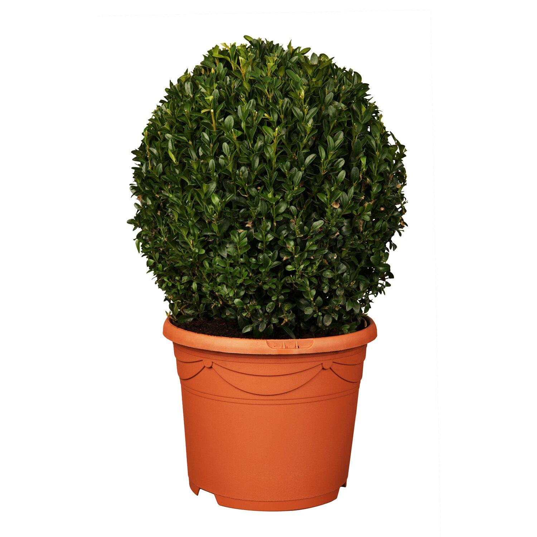 buchsbaum kugel h he 20 cm 30 cm im 4 l topf buxus kaufen bei obi. Black Bedroom Furniture Sets. Home Design Ideas