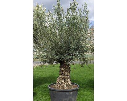 Olivenbaum Stamm Topf-Ø ca  75 cm Olea