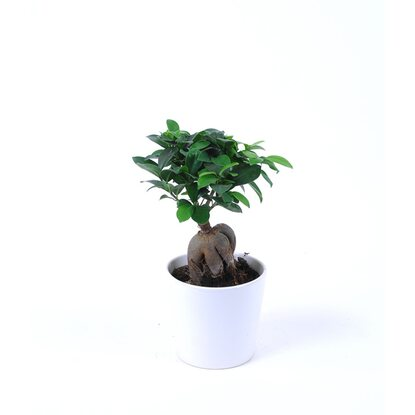 ficus microcarpa ginseng in keramik buddha topf 11 cm. Black Bedroom Furniture Sets. Home Design Ideas