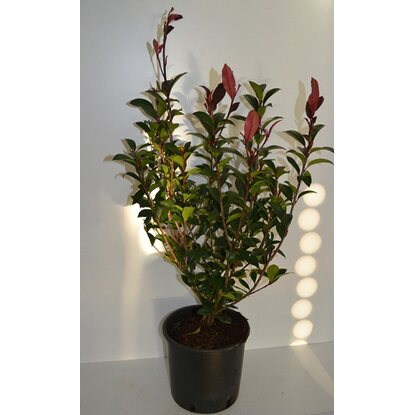 "Glanzmispel ""Carre Rouge"" Rot Höhe ca. 60 - 80 cm Topf ca. 5 l Photinia"