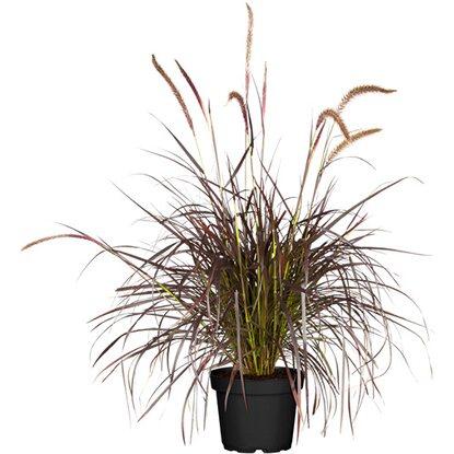 lampenputzergras summer samba topf 19 cm pennisetum kaufen bei obi. Black Bedroom Furniture Sets. Home Design Ideas