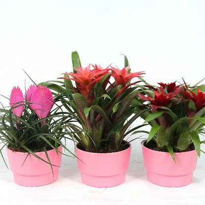 Bromelia Arrangement Coupe Cancun