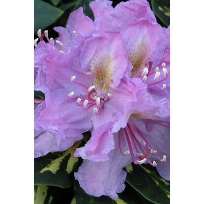 "Rhododendron ""Goldflimmer""  Lilarosa 4 l"