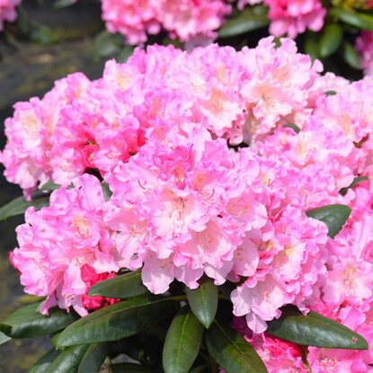 Rhododendron 7,5 l