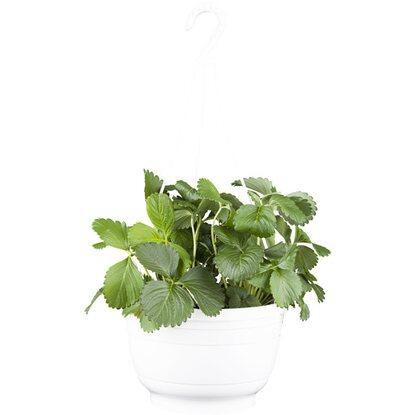 h ngende erdbeerpflanze topf ca 11 cm fragaria kaufen bei obi