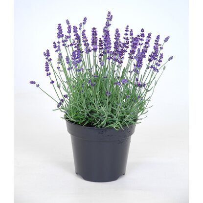 lavandula angustifolia hidcote topf 17 cm kaufen bei obi. Black Bedroom Furniture Sets. Home Design Ideas
