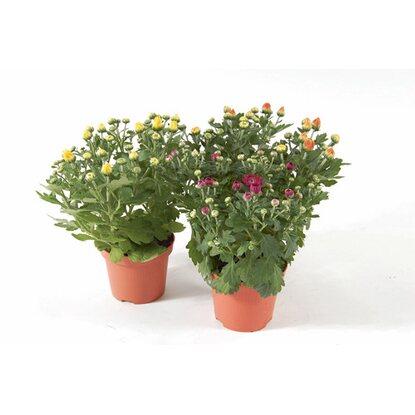 chrysanthemen mix garden mums im 13 cm topf kaufen bei obi. Black Bedroom Furniture Sets. Home Design Ideas