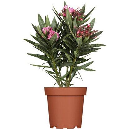 oleander topf 13 cm nerium kaufen bei obi. Black Bedroom Furniture Sets. Home Design Ideas