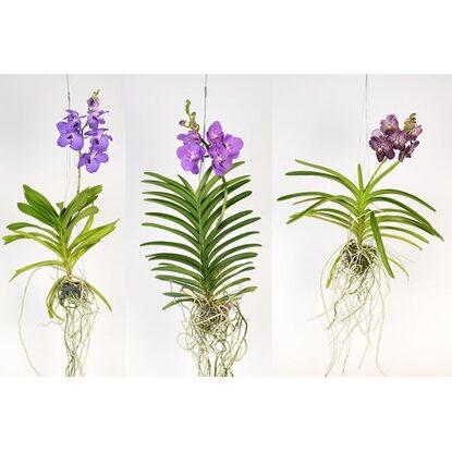 vanda orchidee grossbl tig mix 1 trieber im glas gef ss. Black Bedroom Furniture Sets. Home Design Ideas