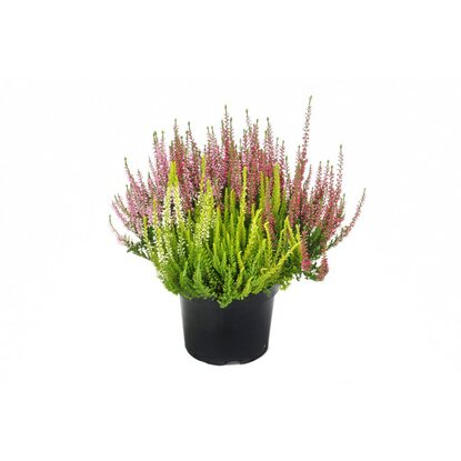 "Knospenblüher-Heide ""Beauty Ladies Trio"" Topf-Ø 17 cm Calluna"
