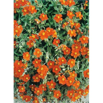 "Sonnenröschen Orange ""Helianthemum"" Topf-Ø ca. 11 cm"