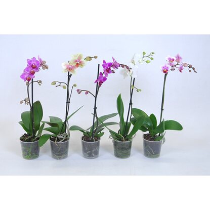 "Schmetterlings-Orchidee ""Phalaenopsis"" 1-Trieber 9 cm Mix"