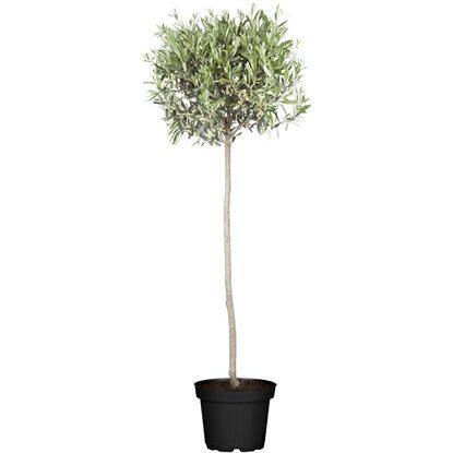 olivenbaum stamm topf ca 35 cm olea kaufen bei obi. Black Bedroom Furniture Sets. Home Design Ideas