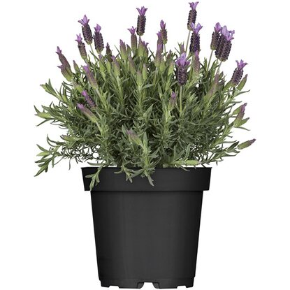 schopf lavendel busch topf ca 17 cm lavandula kaufen. Black Bedroom Furniture Sets. Home Design Ideas