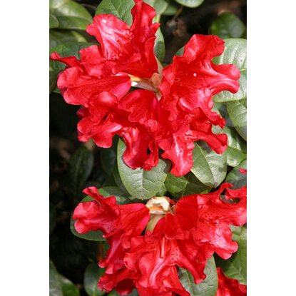 "Rhododendron ""Scarlet Wonder"" Rot 2 l"