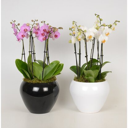 "Schmetterlings-Orchidee ""Phalaenopsis"" Fountain 6-Trieber"