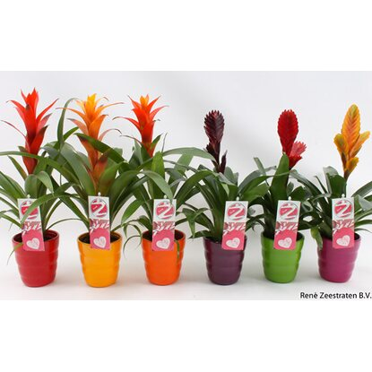"Bromelia Mix in Keramik ""Queen"""