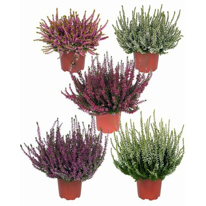 "Knospenblüher-Heide ""Beauty Ladies"" Topf-Ø 9 cm Calluna"