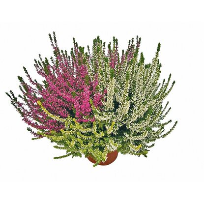 Knospenblüher-Heide Beauty Ladies Twins Topf-Ø ca. 9 cm Calluna