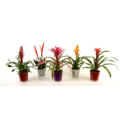 "Bromelia Mix im Glastopf ""Claudia"""