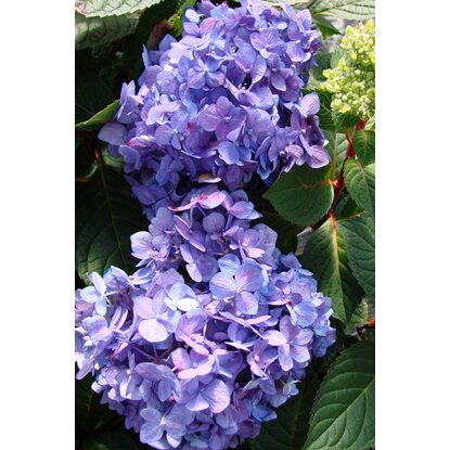 "Hortensie ""Endless Summer"" Bloom Star blau-lila Blau 5 l"