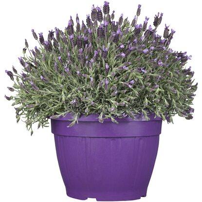 schopf lavendel violett topf ca 25 cm lavandula kaufen. Black Bedroom Furniture Sets. Home Design Ideas