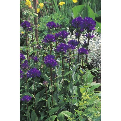 kn uel glockenblume acaulis blau campanula glomerata topf ca 11 cm kaufen bei obi. Black Bedroom Furniture Sets. Home Design Ideas
