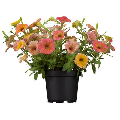 "Petunie ""Indian Summer"" Topf-Ø 12 cm Petunia"