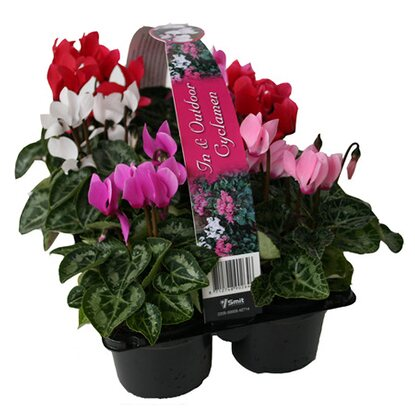 Cyclamen Super Serie Verano 6-pack