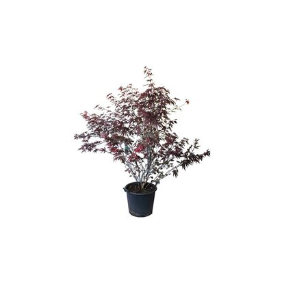 "Fächer-Ahorn ""Skeeter""s Broom"" Rot 7,5 l"