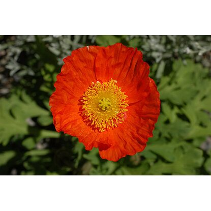 Islandmohn Orange