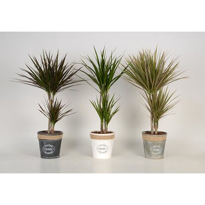 Dracaena Luxe Mix 30-10 Chipwood