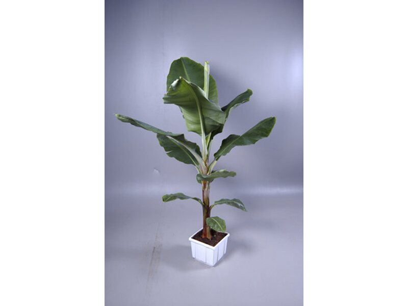 Zimmerpflanzen kaufen bei OBI - OBI.ch