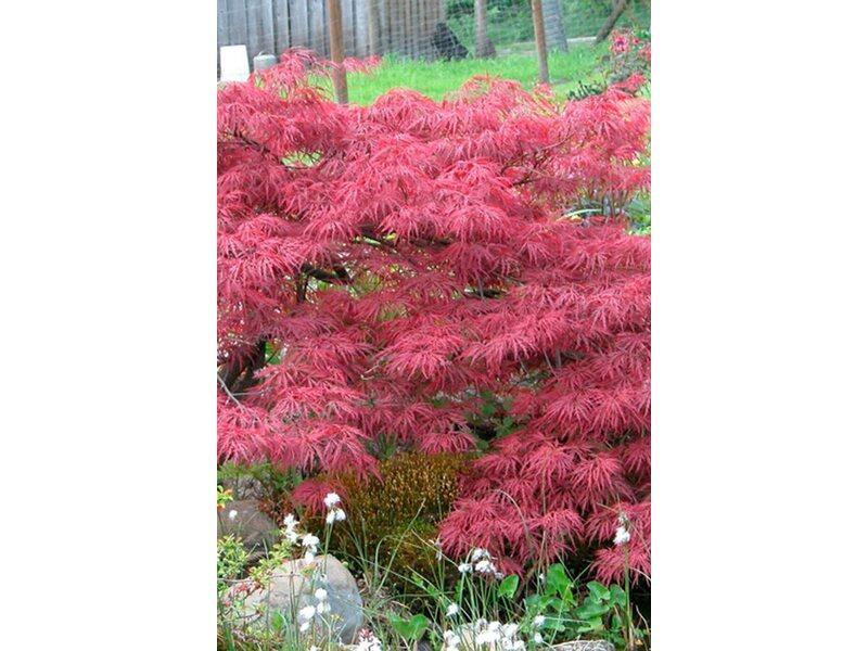 japanischer f cherahorn im 23 cm topf kaufen bei obi. Black Bedroom Furniture Sets. Home Design Ideas