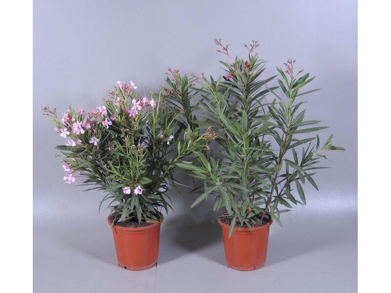 oleander nerium oleander busch topf 25 cm kaufen bei obi. Black Bedroom Furniture Sets. Home Design Ideas