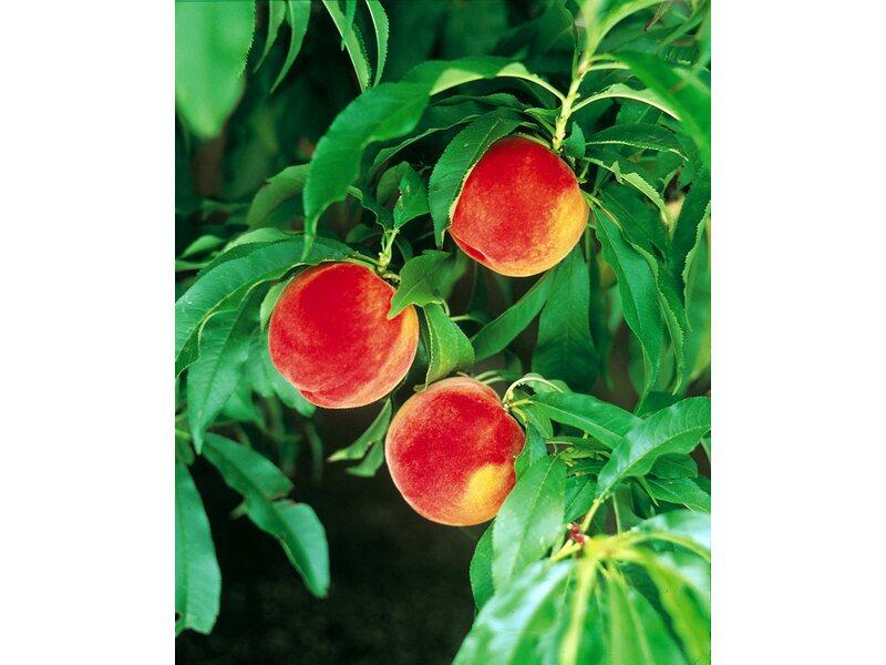 pfirsichbaum kaufen pfirsichbaum g nstig pflanzenversand pfirsichb ume kaufen pfirsichbaum. Black Bedroom Furniture Sets. Home Design Ideas