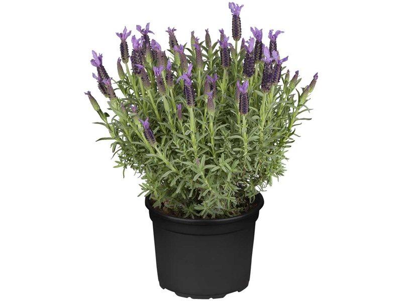 schopf lavendel violett topf 19 cm lavandula kaufen bei obi. Black Bedroom Furniture Sets. Home Design Ideas