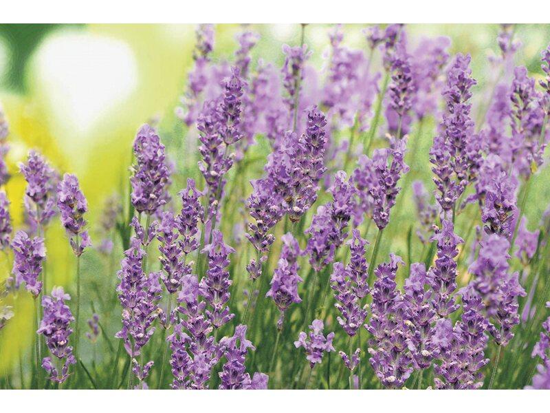 schopf lavendel nuance busch topf ca 14 cm lavandula. Black Bedroom Furniture Sets. Home Design Ideas