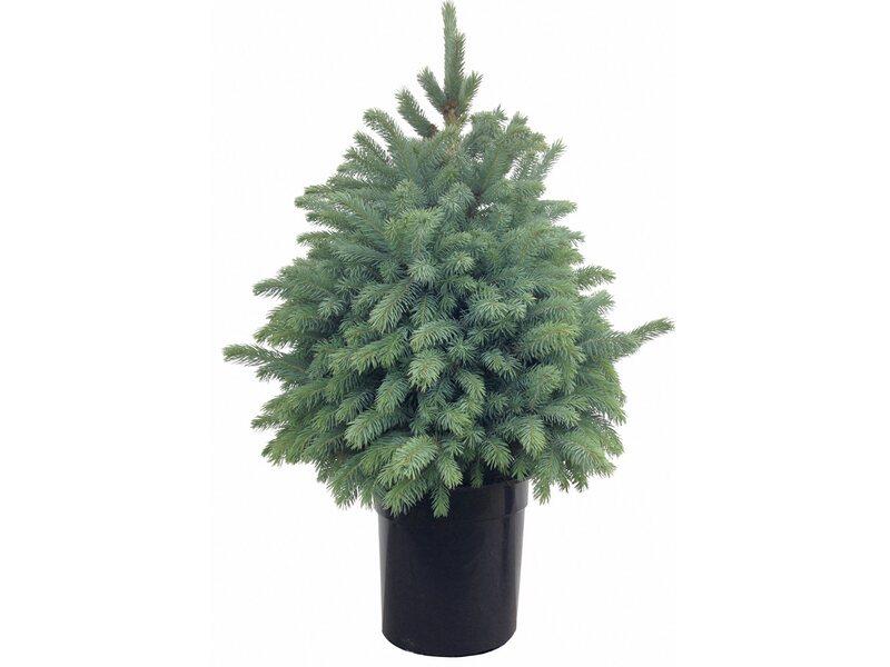 Tannenbaum im topf obi my blog - Weihnachtsbaum obi ...