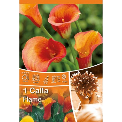 "Calla ""Flame"" Orange-Gelb"