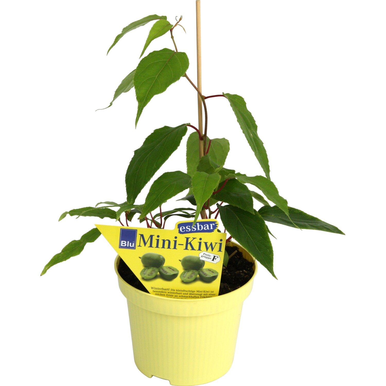 mini kiwi weiki topf ca 12 cm actinidia kaufen bei obi. Black Bedroom Furniture Sets. Home Design Ideas