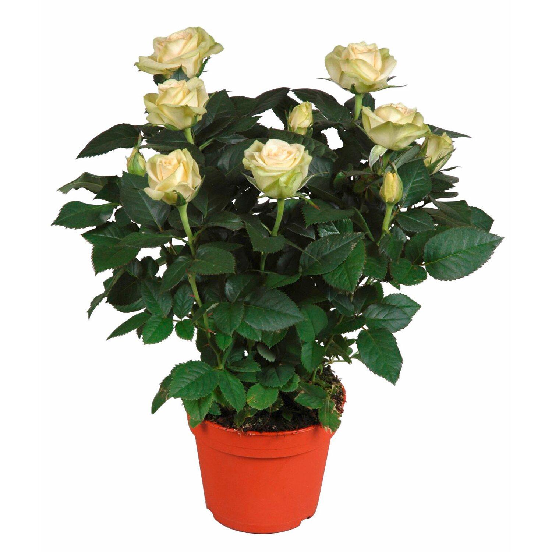 Rose weiss topf ca 13 cm kaufen bei obi for Roselline in vaso