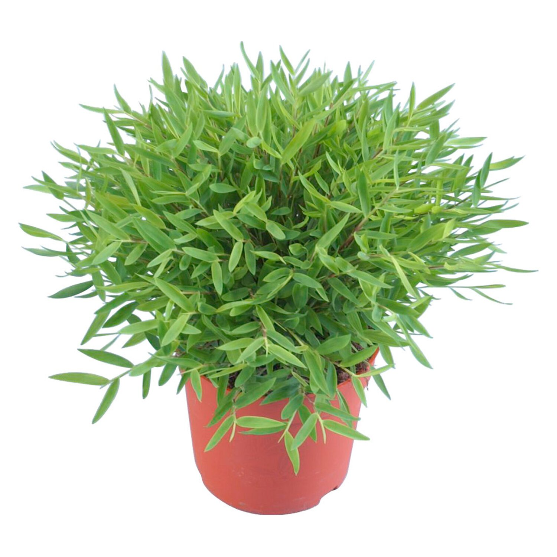Bambus Topf O Ca 12 Cm Kaufen Bei Obi