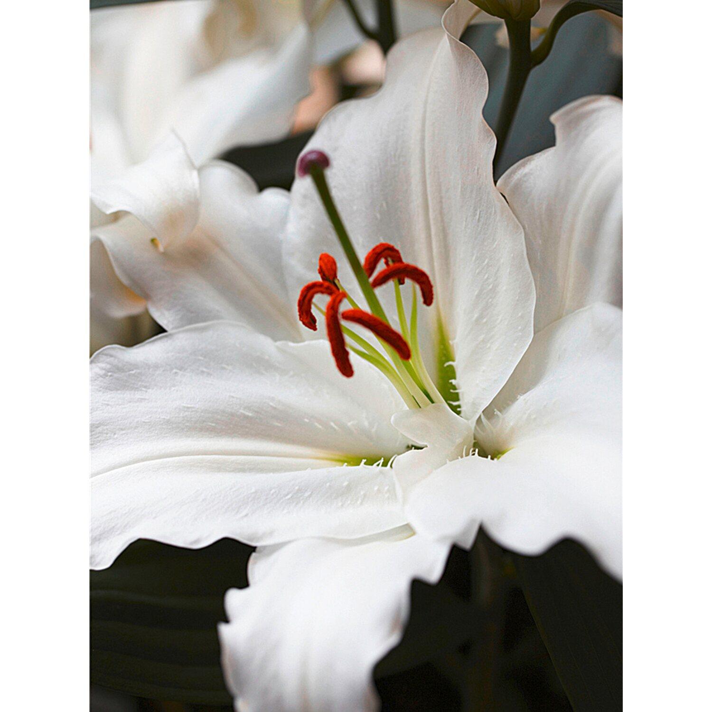 asiatische lilie weiss topf ca 19 cm lilium kaufen bei obi. Black Bedroom Furniture Sets. Home Design Ideas